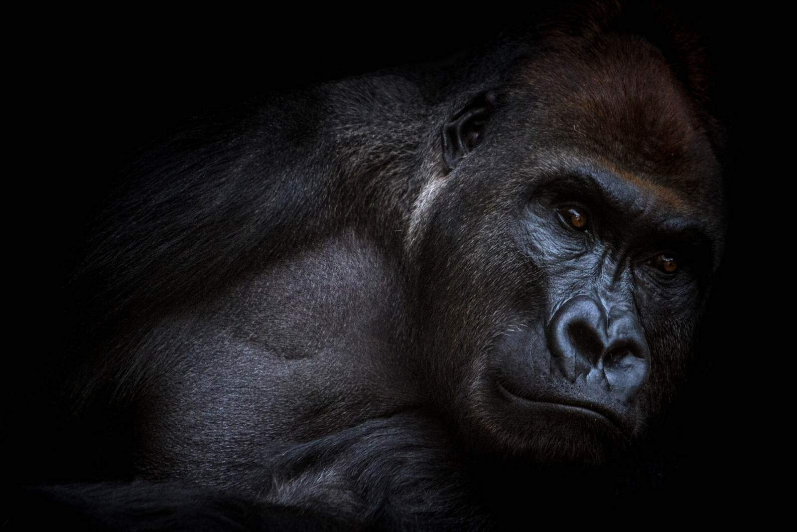 Conservation Groups Launch Campaign to Save Last Cross River Gorillas