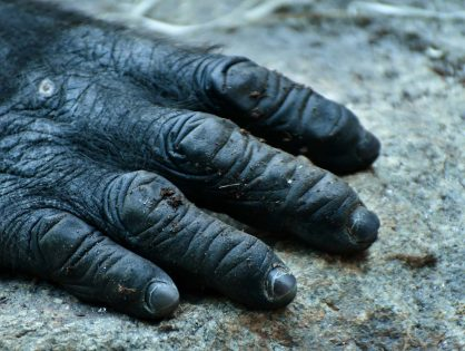 "Cameroon ""new gorillas"" need protection"