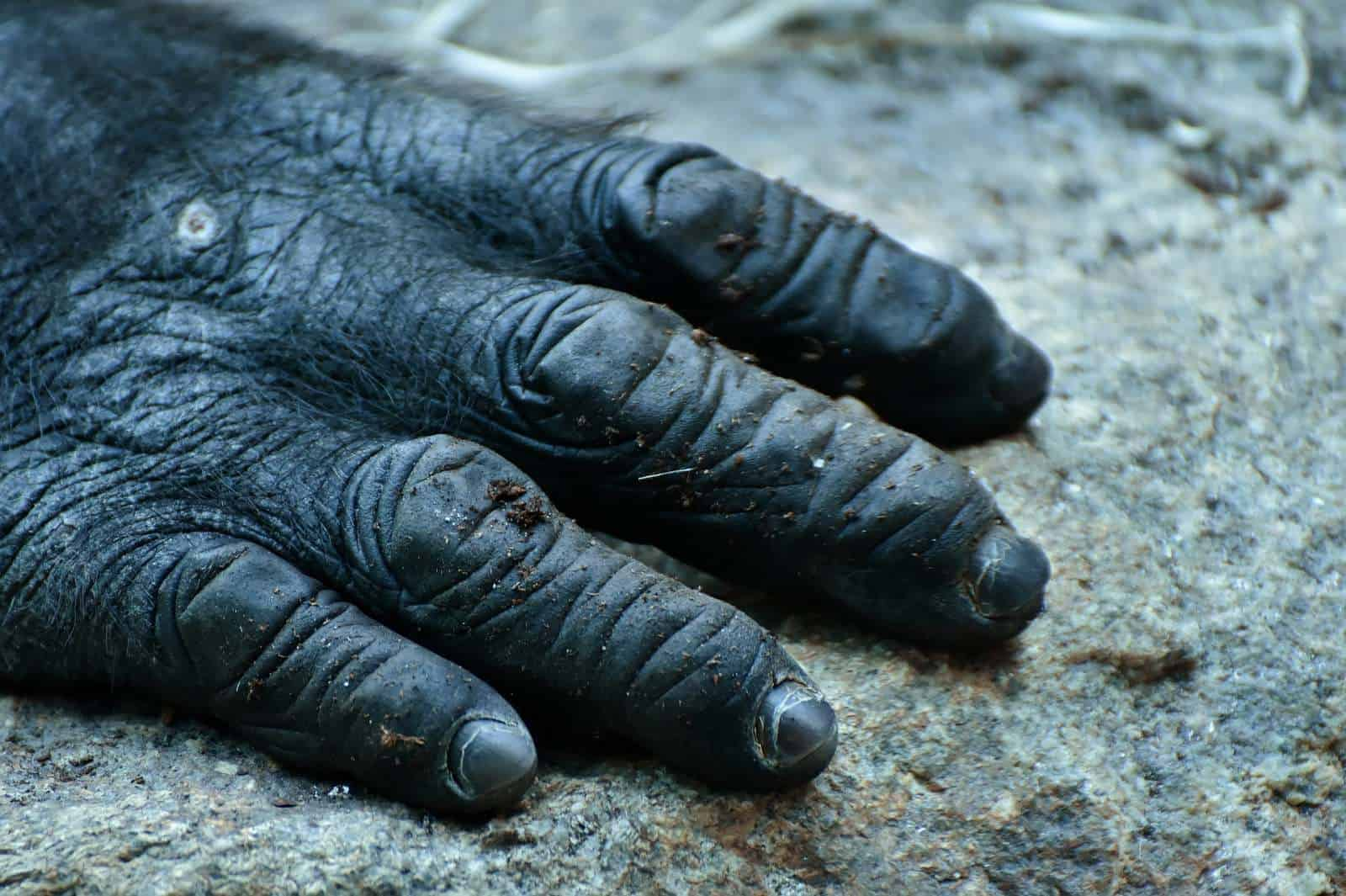 """Cameroon """"new gorillas"""" need protection"""