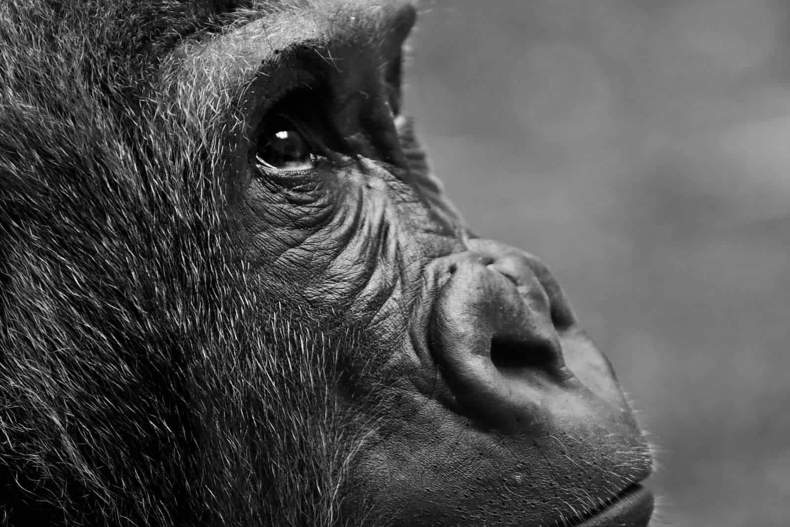 Climate change aided decline of endangered Cross River gorilla