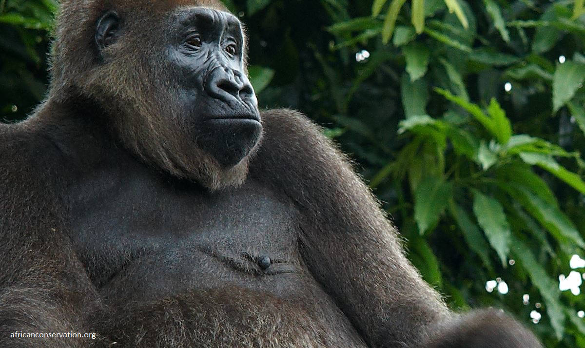 New protected area established for world's rarest ape, the Cross River Gorillas in South West Cameroon